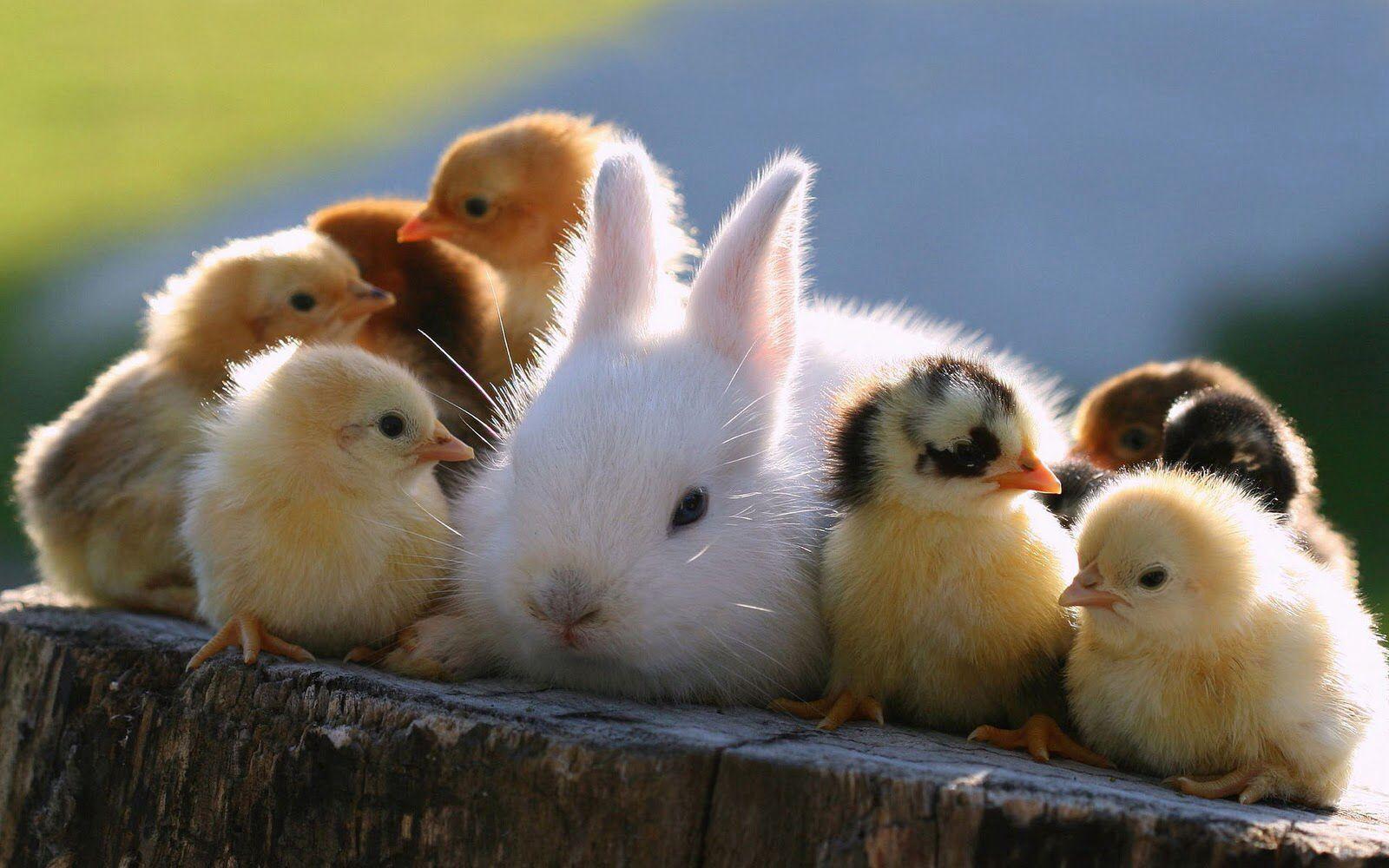 Afbeeldingsresultaat voor konijn met kuikentjes