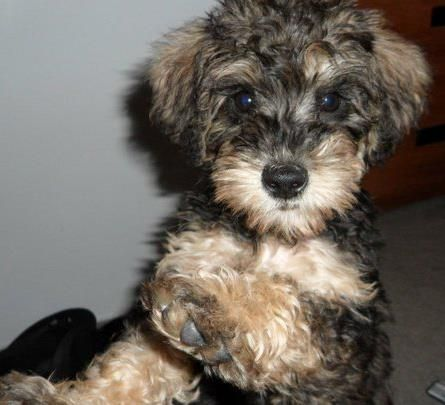 Schnoodle Schnoodle Puppy Cute Dog Mixes Schnoodle
