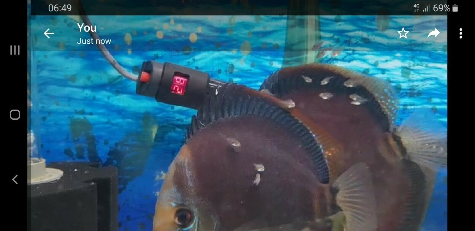 Discus fish for sale breeding pair proven16 months old