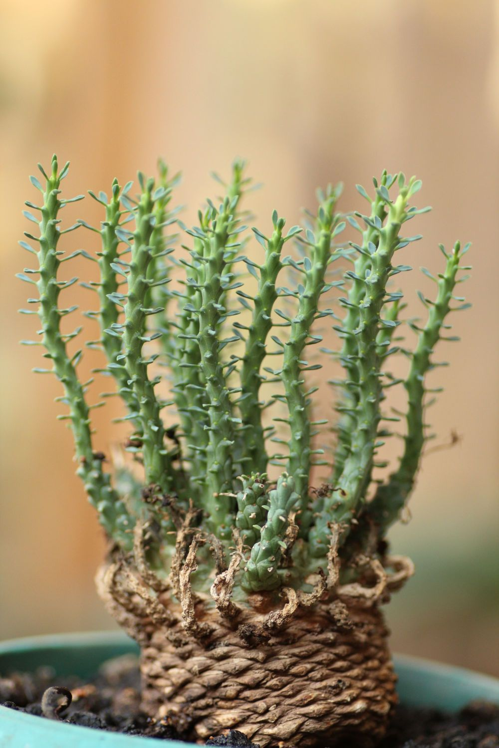 euphorbia gorgonis i think we have this as a houseplant euphorbia in 2018 pinterest. Black Bedroom Furniture Sets. Home Design Ideas