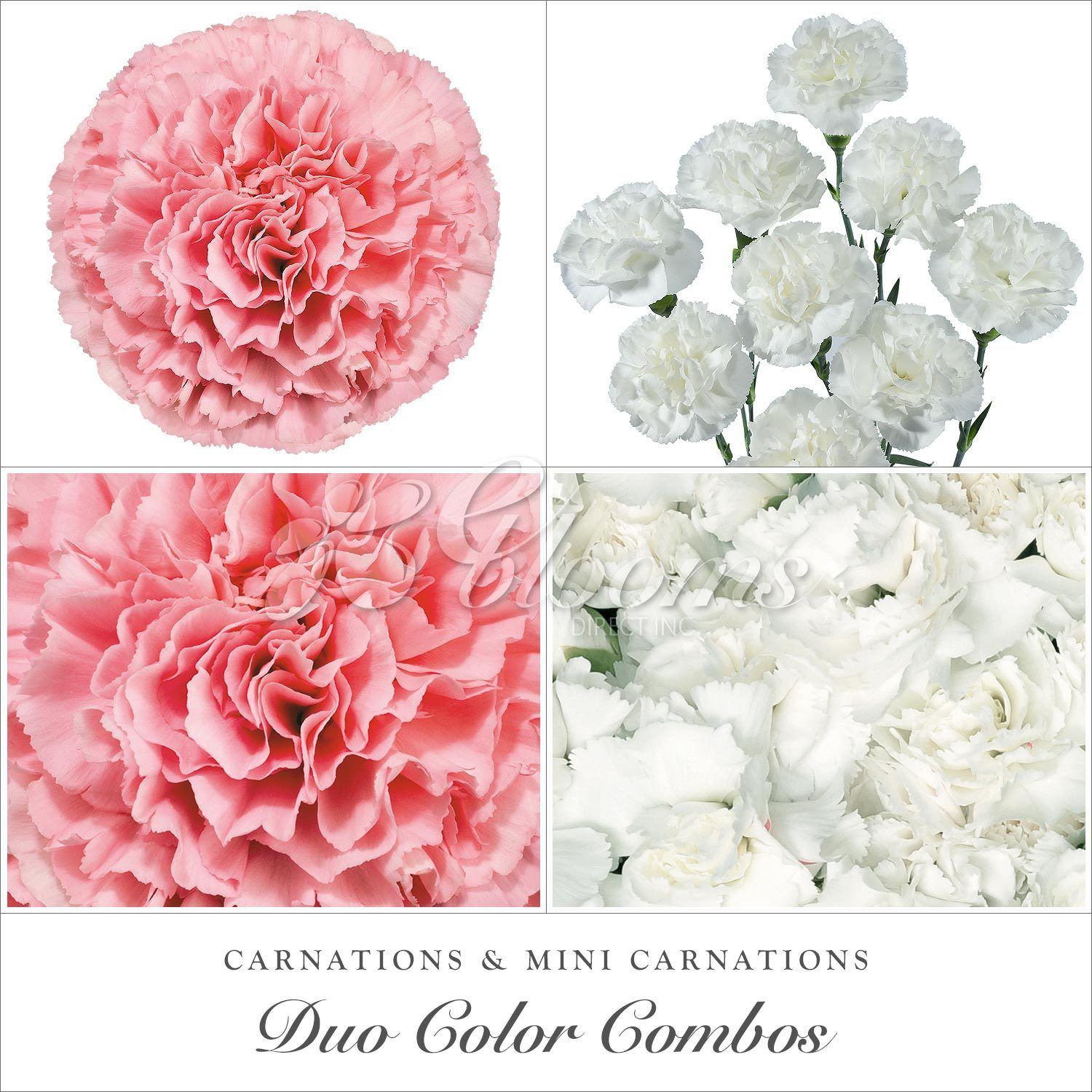 Carnations And Mini Carnation White Pink Ebloomsdirect Spring Wedding Flowers Flower Bouquet Wedding Mini Carnations
