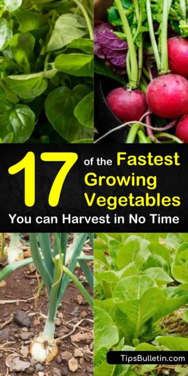 Discover The Fastest Growing Vegetables For Your Gardens At Home With Our Guide We Show You Fast Growing Vegetables Organic Gardening Tips Growing Vegetables