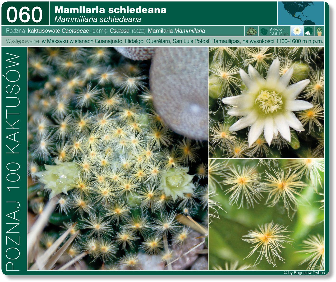 Mammillaria Schiedeana Plants