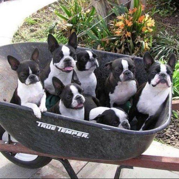 Boston Terrier World on Twitter