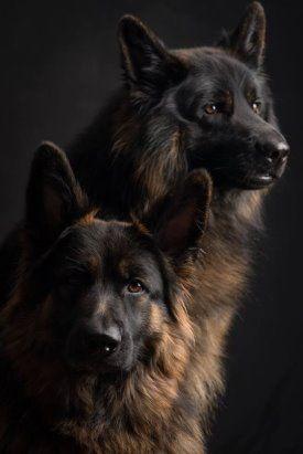 Одноклассники | Немецкие овчарки, Собаки и щенки, Породы собак