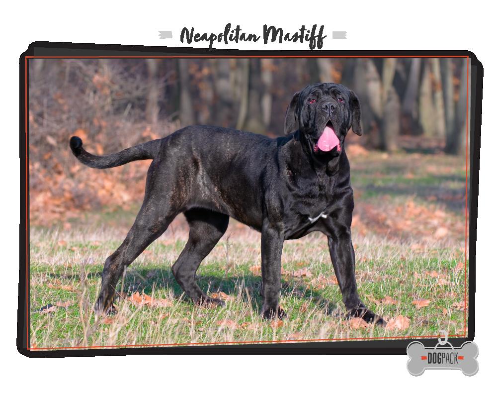 Neapolitan Mastiff Large Dog Breeds Worlds Largest Dog Dog Breeds