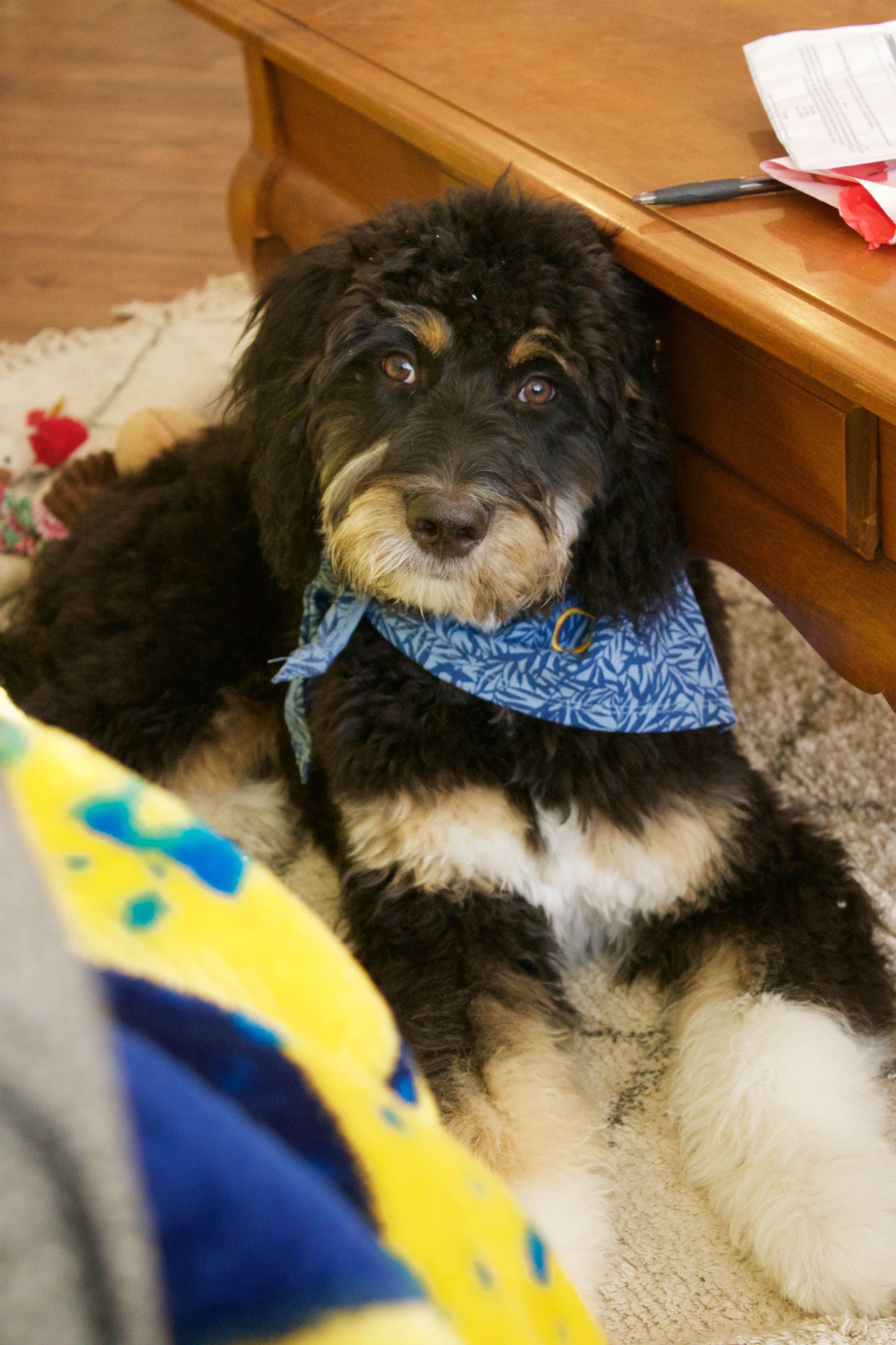 Aussiedoodle Puppy At 6 Months Old Aussiedoodle Australian Shepherd