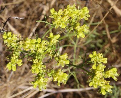 Flora da Serra da Arrábida: Arruda ou Arrudão (Ruta montana)