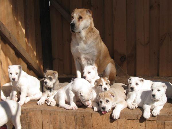 Central Asian Shepherd Dog Alabai Dog Livestock Guardian Dog