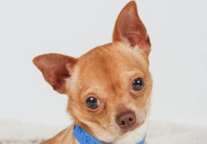 Adopt Bruiser A Lovely 3 Years 2 Months Dog Available For Adoption At Petango Com Bruiser Is A Chihuahua Sho Chihuahua Pet Adoption Chihuahua Love
