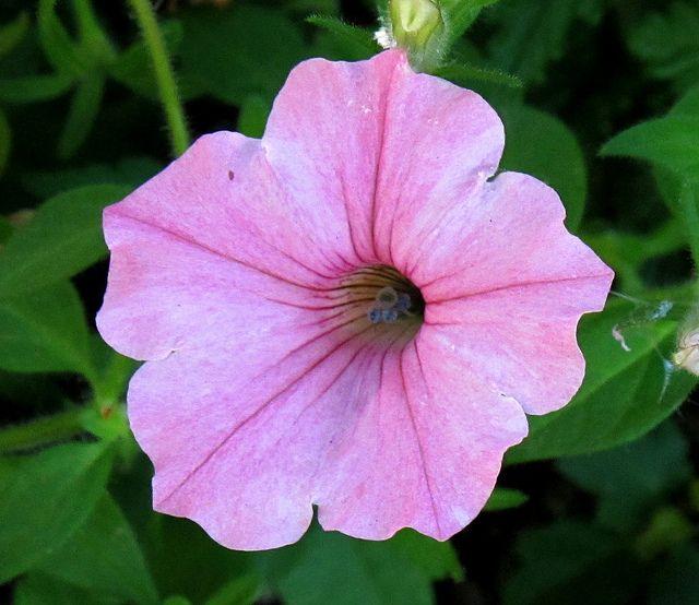 Petunia Kentlands Spring Flowers Img 1498 Petunia Flower Spring Flowers Petunias