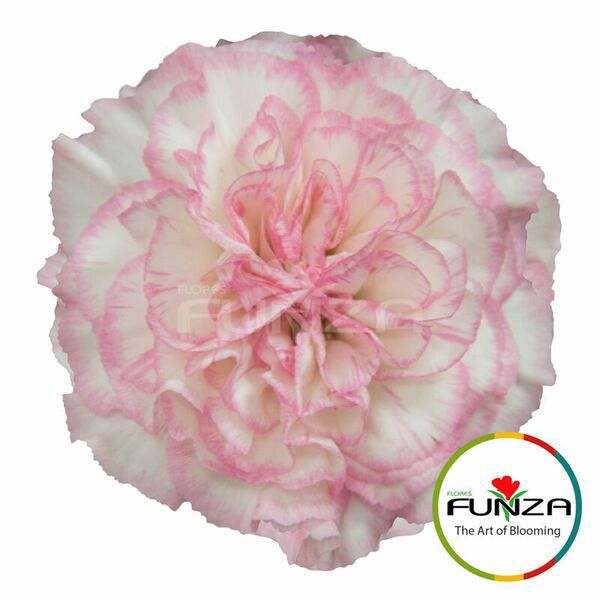 Pin By Kisha Barron On Carnations Carnations Inari Flowers