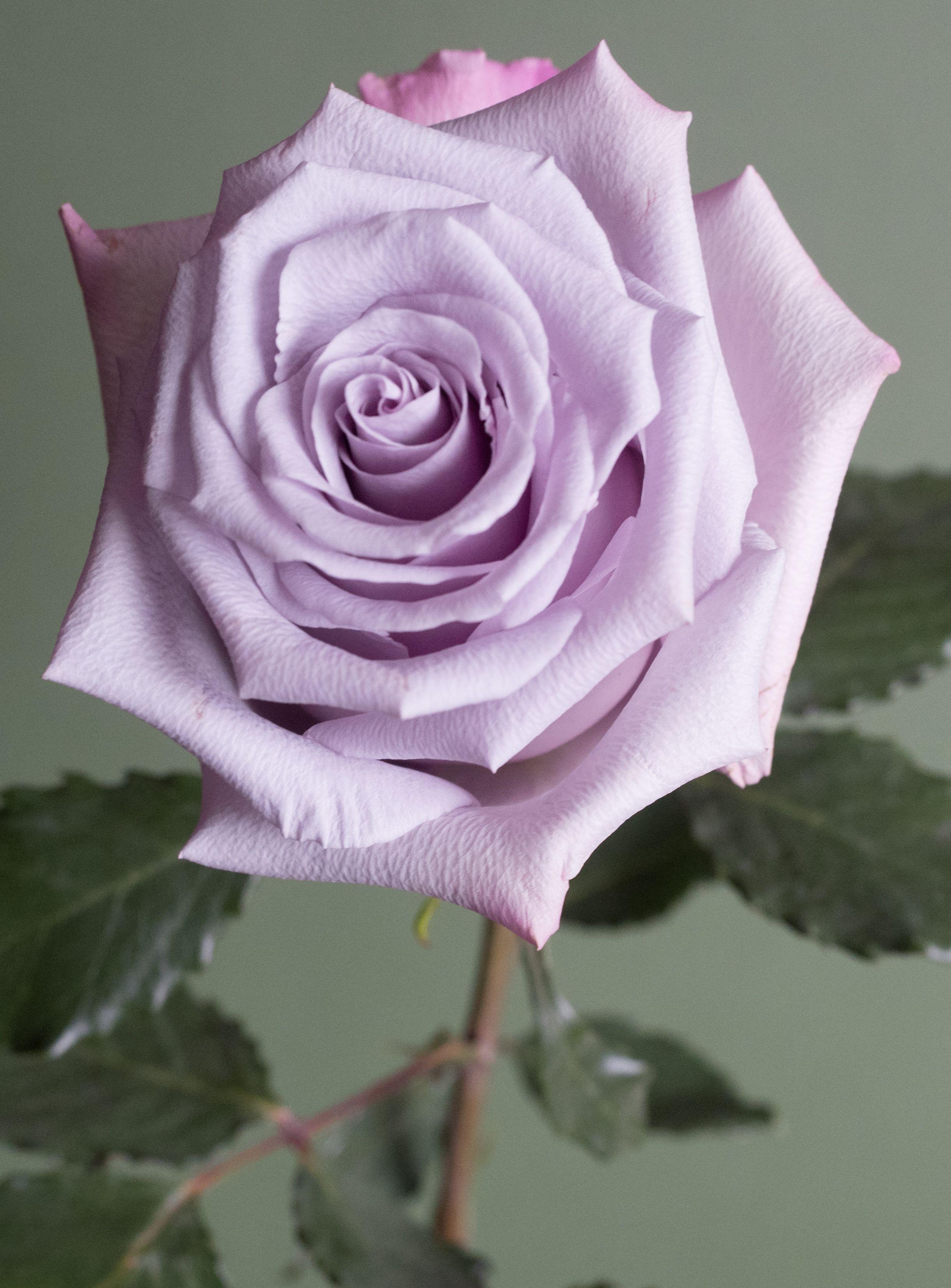 Home Popular Lavender Rose Varieties Lavender Varieties Rose