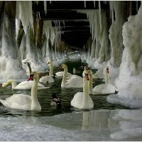 Swans under a frozen dock...ethereal!