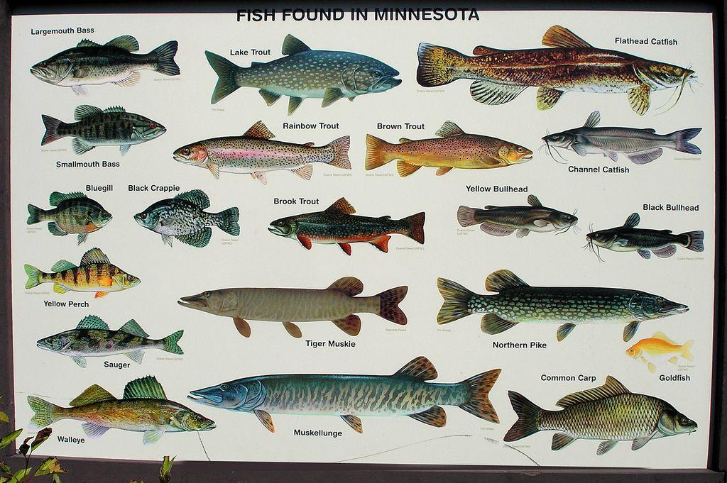 mn scene minnetonkascenes minnesota fish dnr state