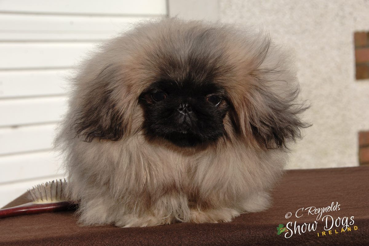 Pekingese Puppy Male For Sale Pekingese Puppies Pug Puppies