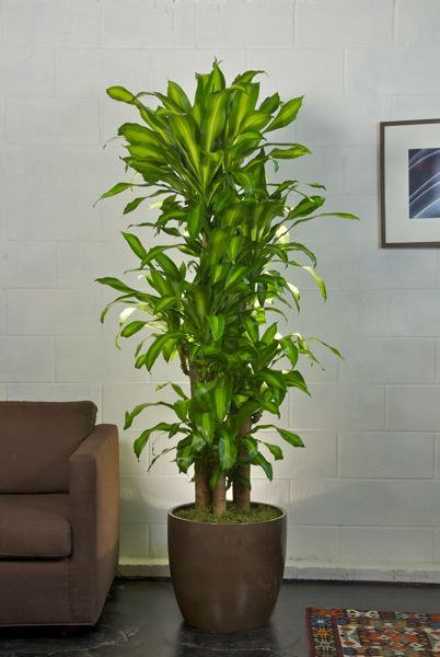 Love and affordable houston 39 s online indoor plant pot store premium corn plant garden - Best tall indoor house plants ...