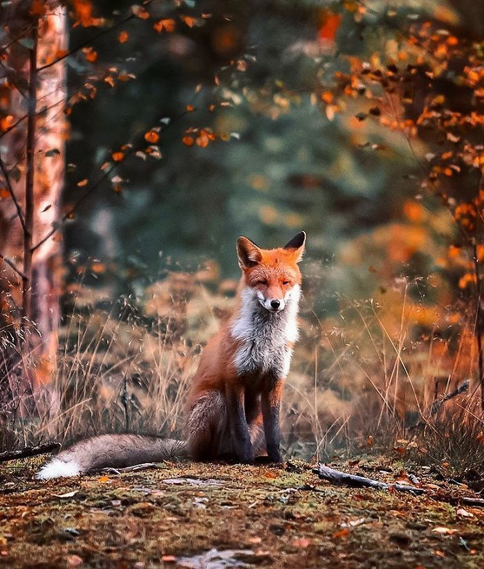 Finnish Photographer Shoots Foxes, And We Can't Finnish Looking At Them