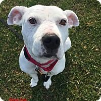 American Bulldog Pit Bull Terrier Mix Dog For Adoption In New York