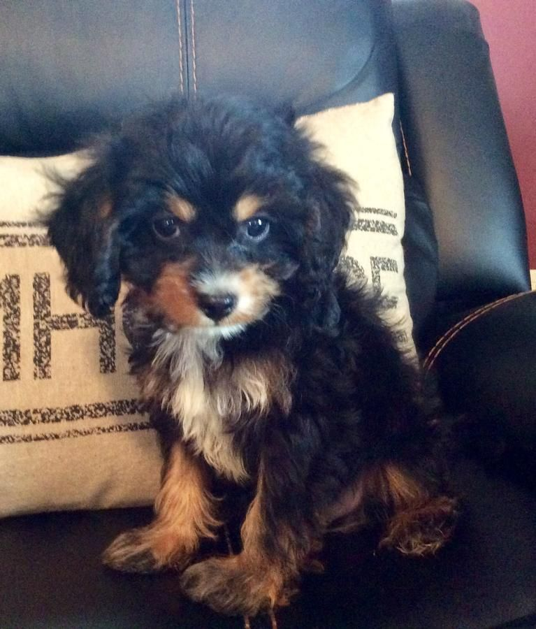 Black And Tan Cavapoo Google Search Cavapoo Black And Tan