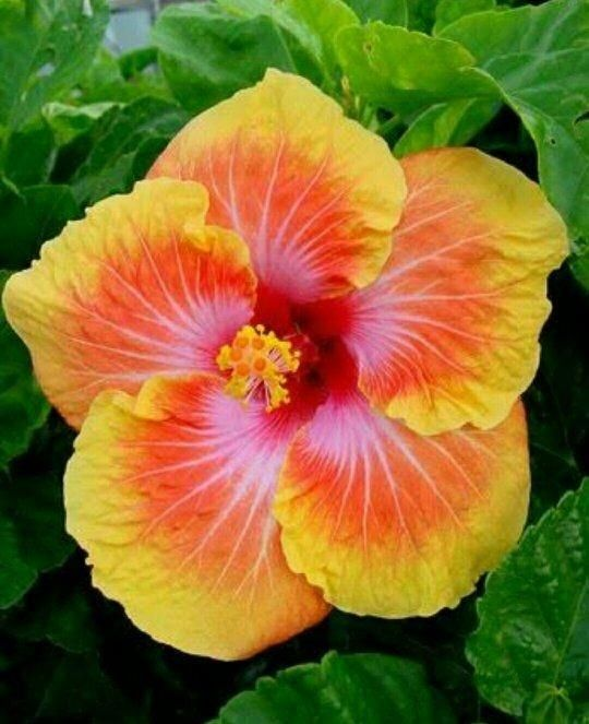 Image Result For Dicot Plants Hibiscus Plant Hibiscus Flowers Beautiful Flowers