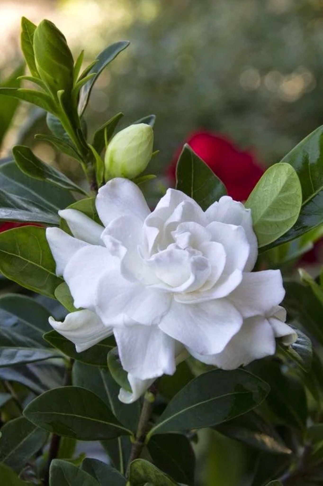 Gardenias Perfumed Essence Wafting On Summer Breezes 3 Amazing Flowers Pretty Flowers Beautiful Flowers