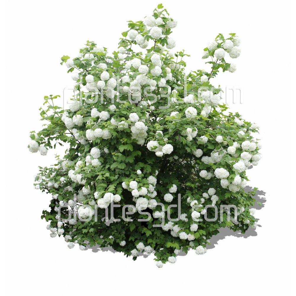 viburnum opulus d tour cutout shrub png plant. Black Bedroom Furniture Sets. Home Design Ideas