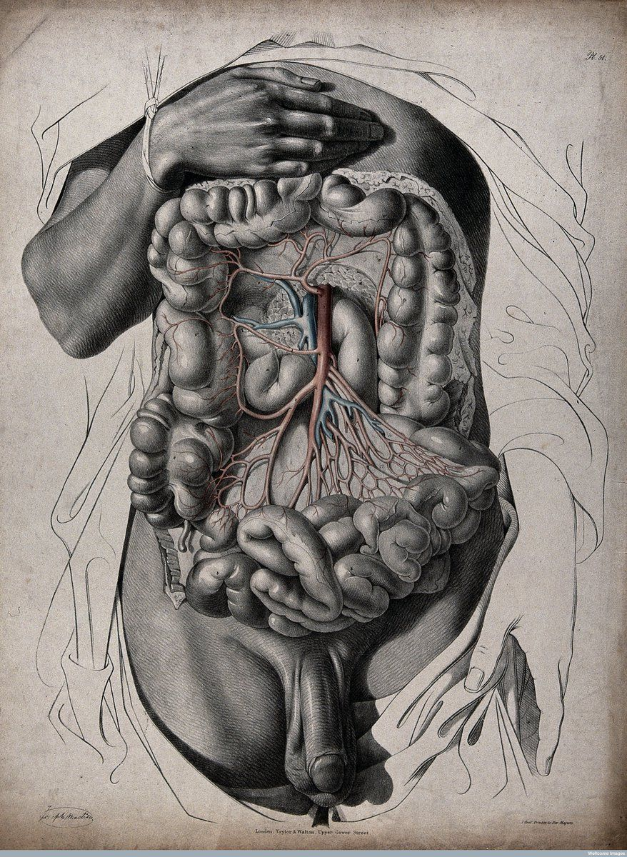 Victorian medical illustration of dissected male abdomen, c.1844 ...