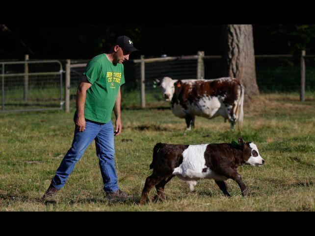"Cattle farmer John Bartheld walks behind ""Peanut,"" a miniature Panda cow, Thursday, July 18, 2013, o"