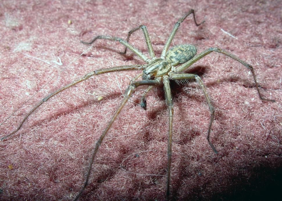 Common British House Spider On Carpet By Chasmac In 2020 House Spider Spider Free Stock Photos