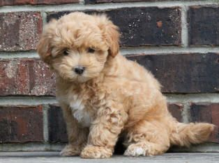 Full Grown Maltipoo Dyr Og Kjaeledyr Hund Dyr