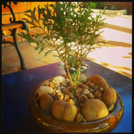 Bonsai de pino (2anhos)