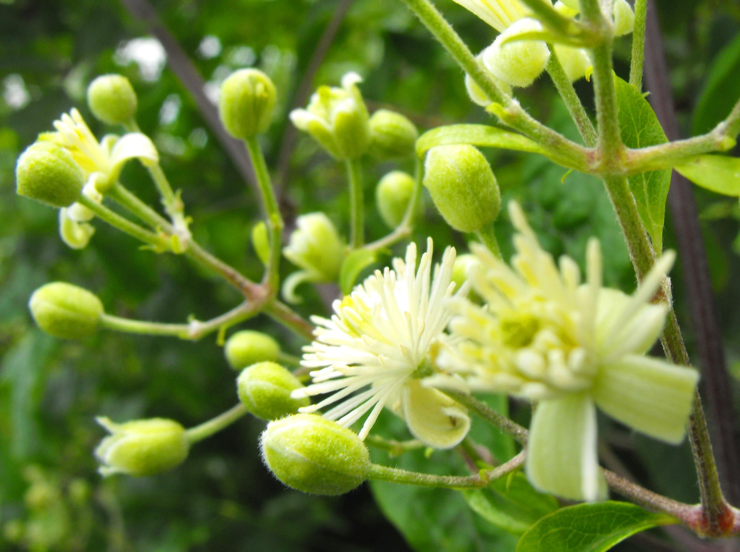 Clematis Bach Flower Remedy Bach Flower Remedies Flower Remedy Herbalism