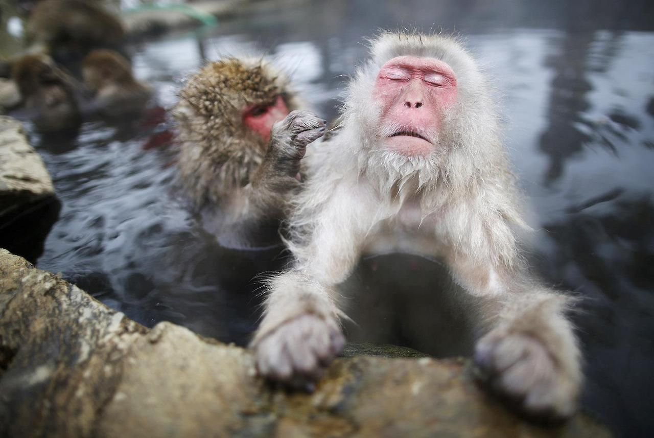 Ahhh That S The Stuff Japanese Macaques Also Called Snow Monkeys Had Fun At A Hot Spring In A Snow Cove Monkeys In Hot Springs Japanese Macaque Snow Monkey