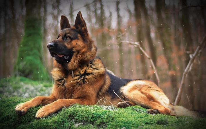 Download Wallpapers German Shepherd Dog Big Dog Forest Brown Black Dog Pets Besthqwallpapers Com German Shepherd Dogs Shepherd Dog German Shepherd Photography