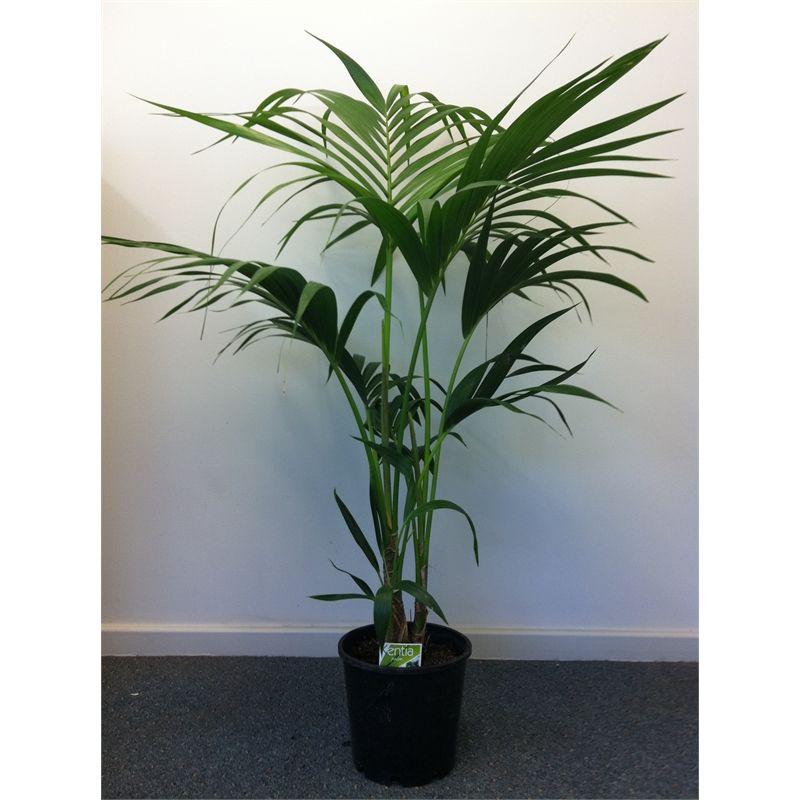 200mm Kentia Palm