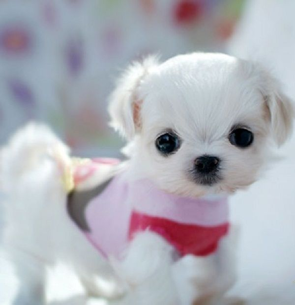 maltese teacup puppies for sale uk Zoe Fans Blog