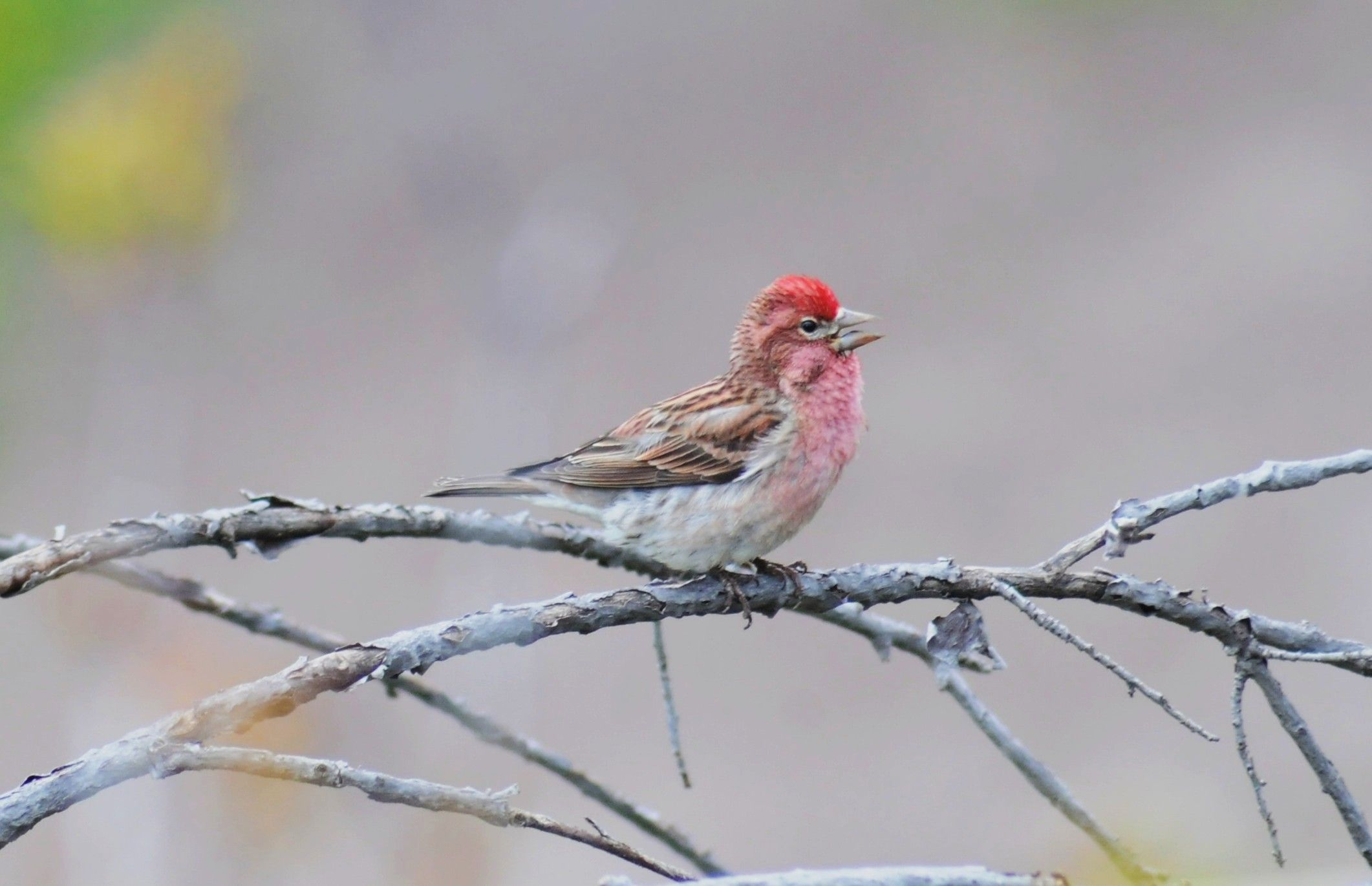 Cassin's Finch male in Colorado with She Flew Birding Tours    Birds