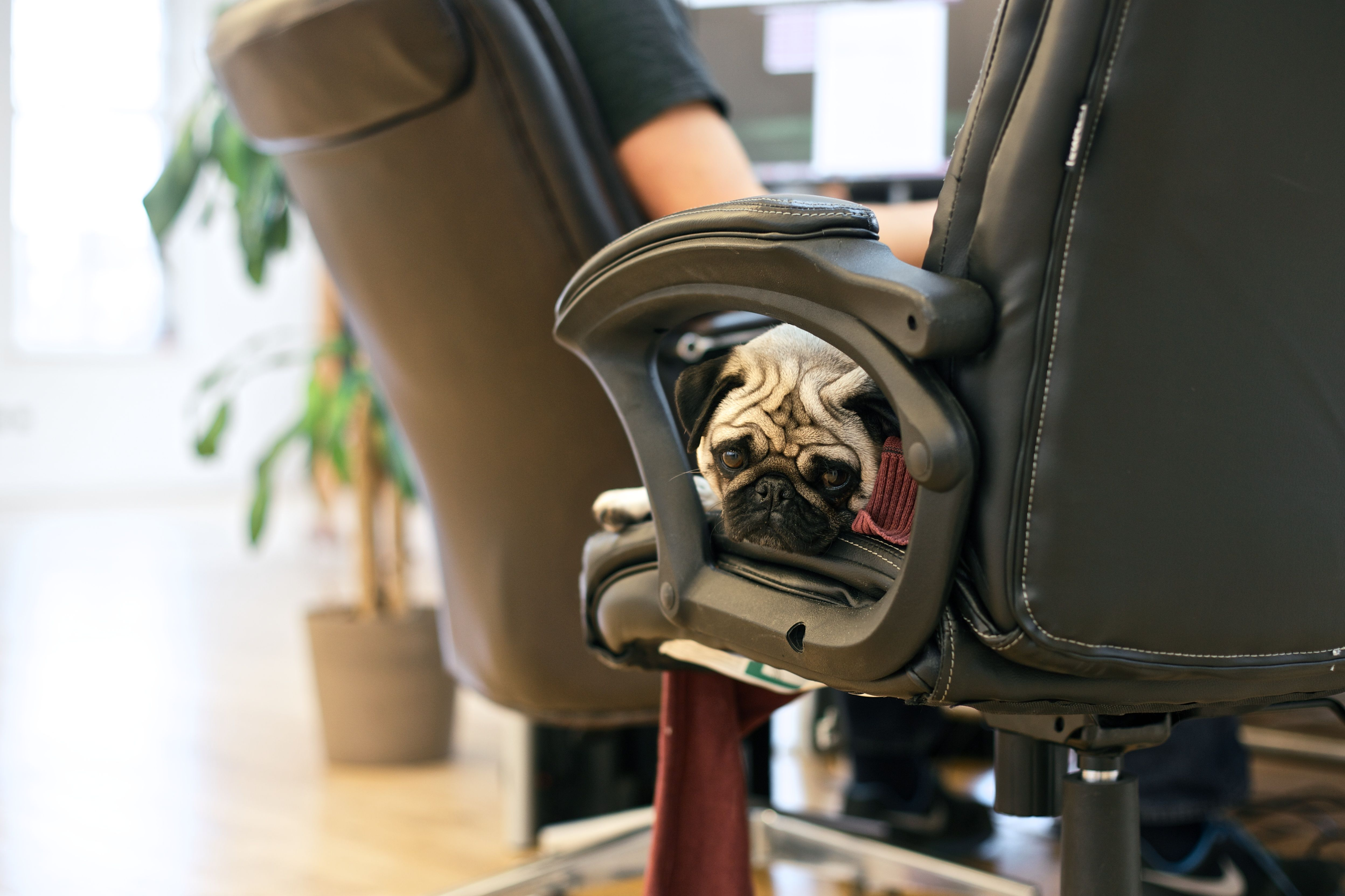 Harriet, office dog. Office dog, Massage chair, Chair