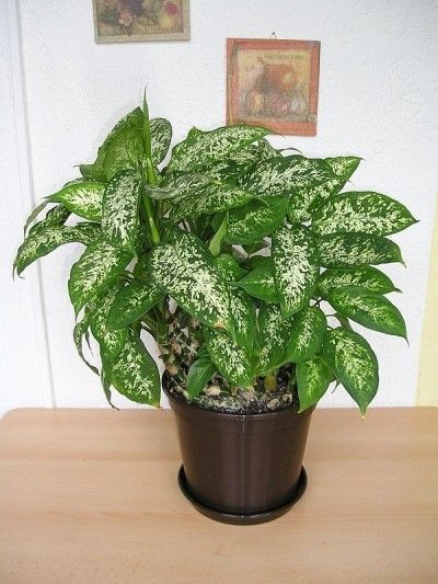Dieffenbachia Houseplant: Growing And Care Of Dumbcane Plants ...