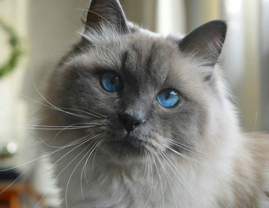 Siberian Cat Neva Masquerade Blue Point Siberian Cat Cats