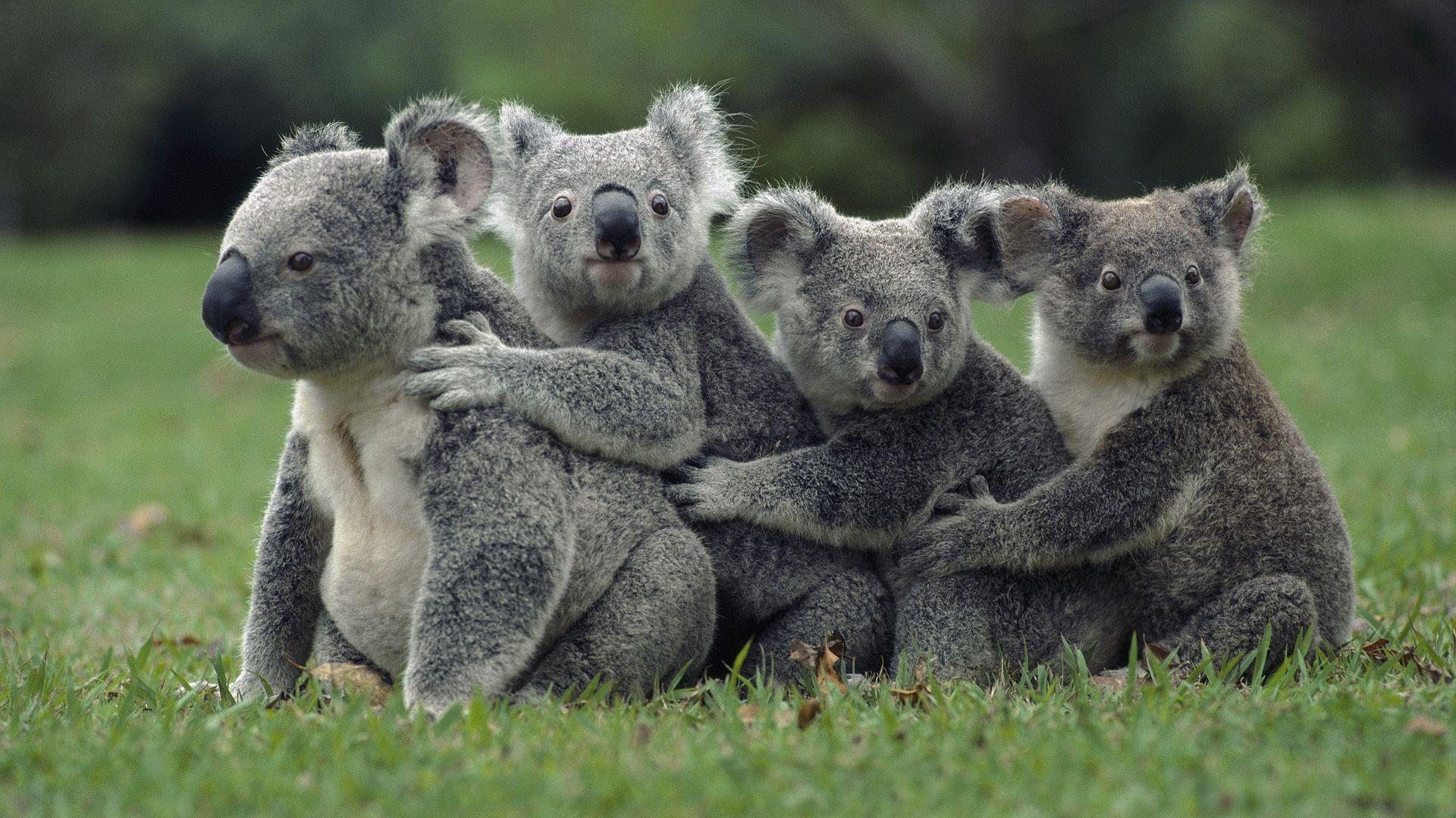 Koala Bear Wallpaper for Desktop Koala Wallpaper