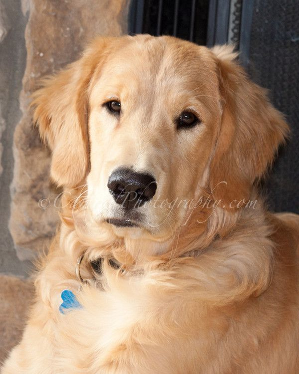 Photo Of Young Golden Retriever Looking Straight At Camera With A