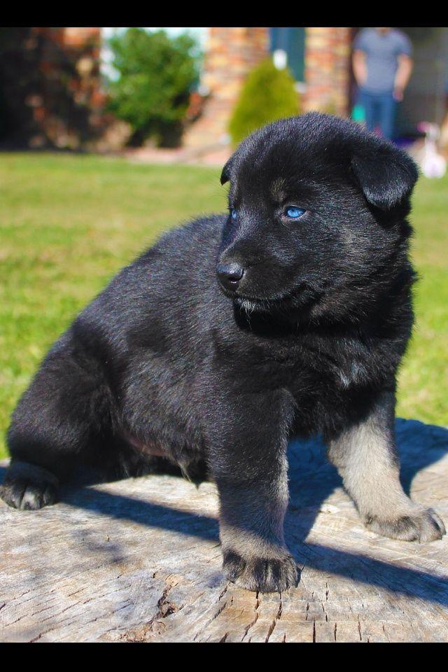Image Result For German Shepherd Blue Eyes Shepherd Dog Breeds
