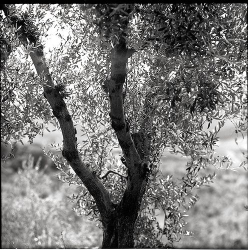 Olive Tree: the center of the landscape