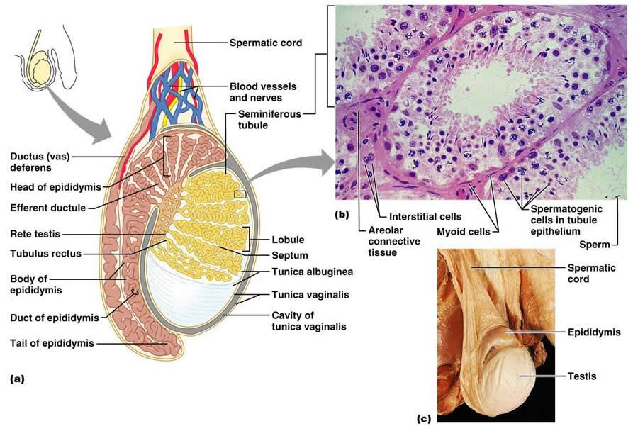 Inside The Testis Anatomy And Physiology Pinterest
