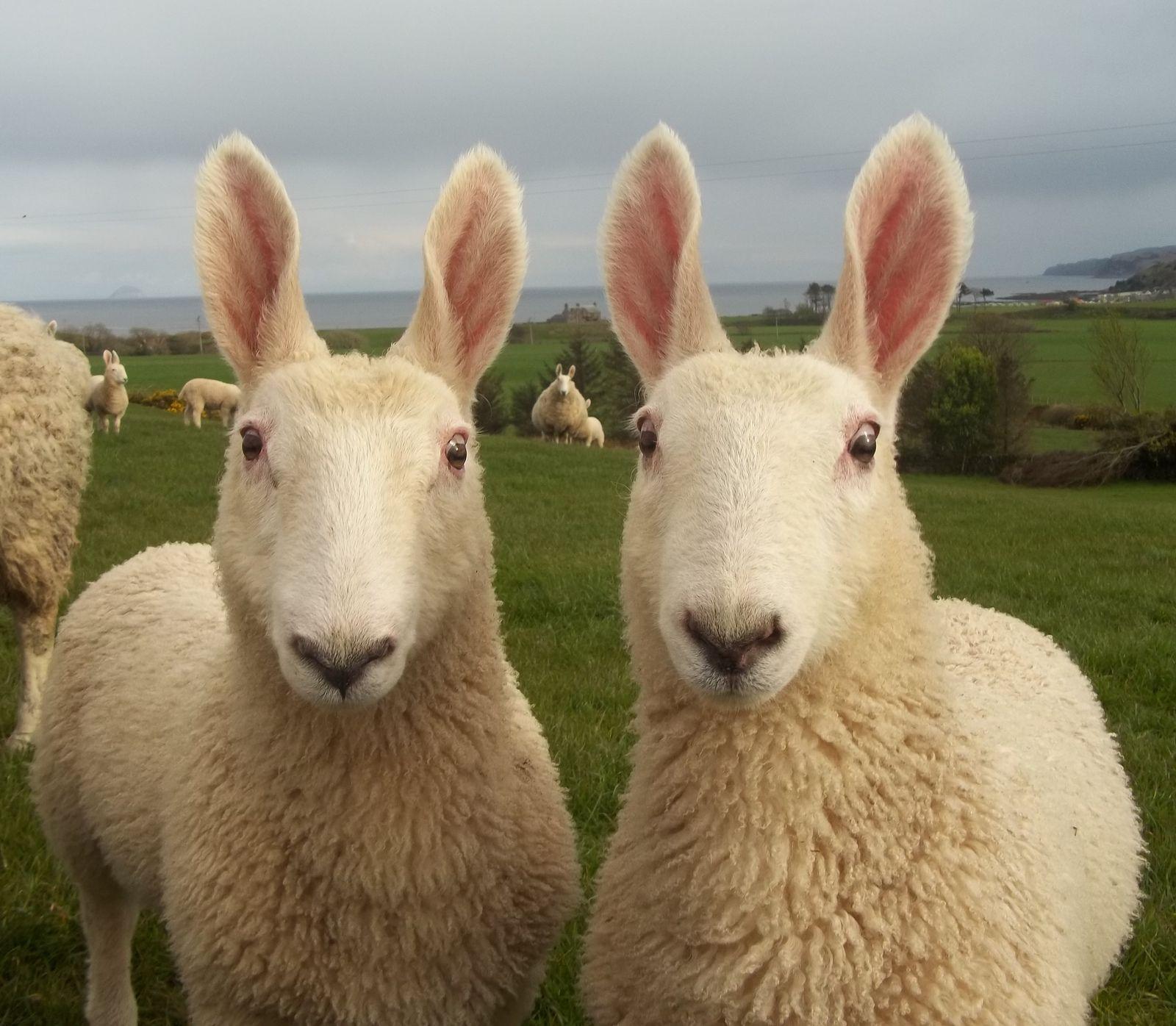 Rabbits are rams. Dwarf Rabbit Ram: breed description 73