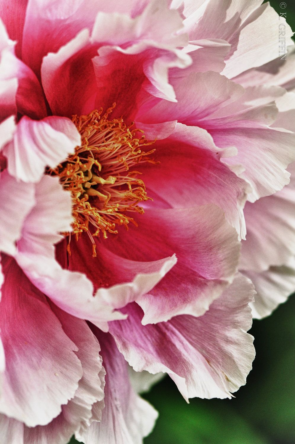 Lioness Peony of Meadowlark Garden. by PwderPointPhotography, via Etsy #fpoe