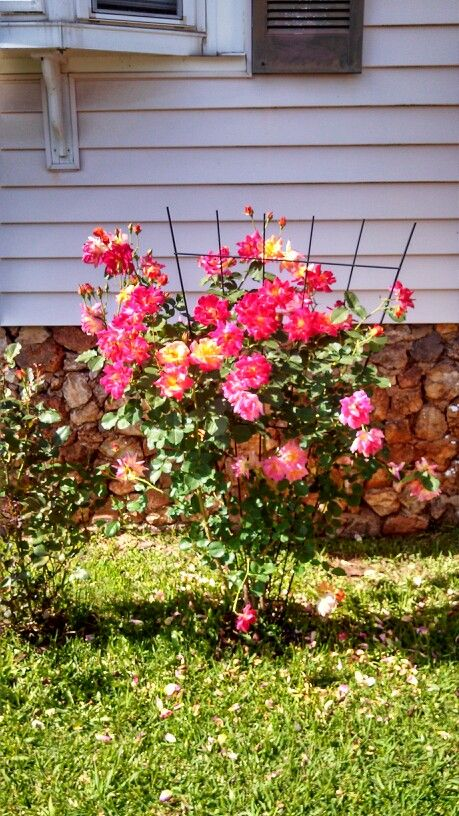 Multi color rose bush my beautiful roses pinterest for Multi colored rose bushes