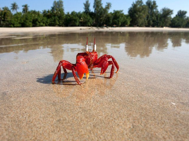 Red crab, Ngapali Beach, Myanmar: many of these images are part of our Free Wallpaper and Free Screensavers